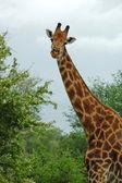 žirafa v Africe