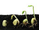 Klíčení semen fazole