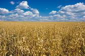 Oat field and blue sky
