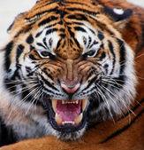 Nádherná sumaterský tygr