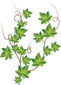 Branch of Green ivy Vector Illustration