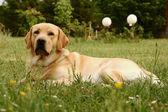 Labrador retriever on grassy meadow
