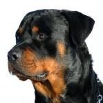 thumbnail of Rottweiler