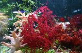 červené řasy tropické