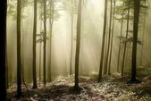 Misty beech woods in a nature reserve