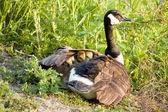 Canada goose kuřat