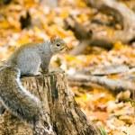 ������, ������: Gray Squirrel