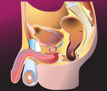 Постер, плакат: Male Reproduction System, холст на подрамнике