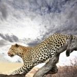 thumbnail of Leopard