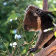 thumbnail of Koala Eating Eucalyptus Leaves
