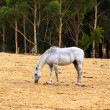 thumbnail of Horse Grazing on dry grass on hill