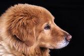 Mature Dog