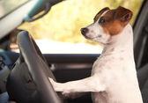 Jack Russell Terrier Dog Enjoying Ride