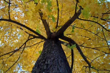 Yellow leaves on the maple tree
