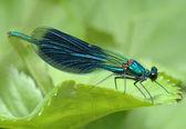 Fotografie Libelle Calopteryx splendens
