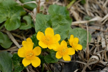 Flowers of Marsh marigolds