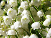 Blossoming lily of the valley