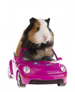 Guinea pig sitting in a car on white bac