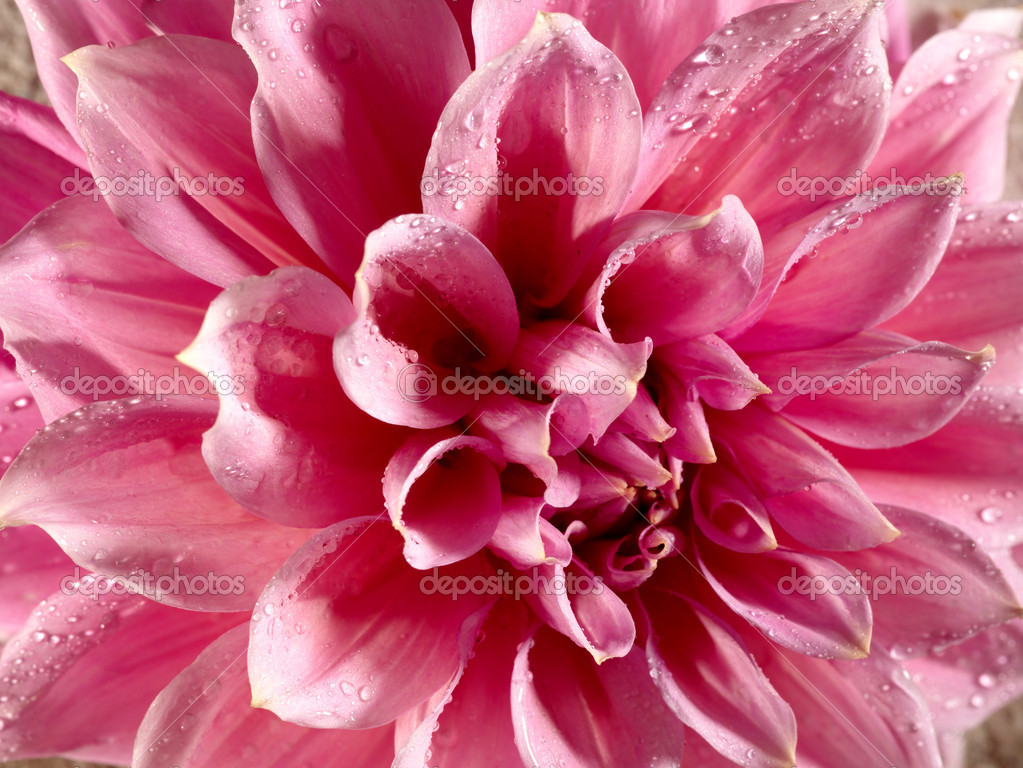 Beautiful lotus flower with water drops