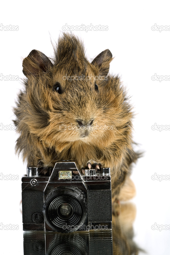 Funny shaggy photographer. A Cavia with old photo camera