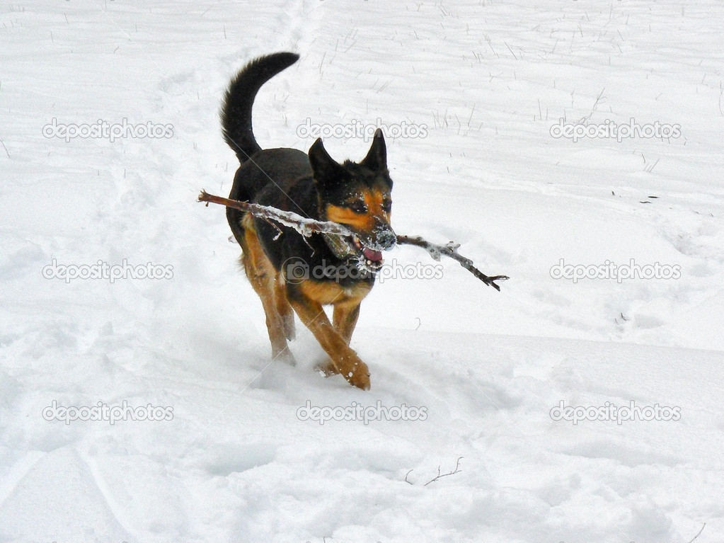 Running dog on the snow