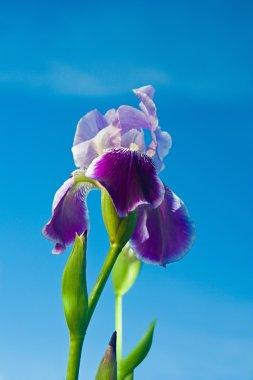 Iris stock vector