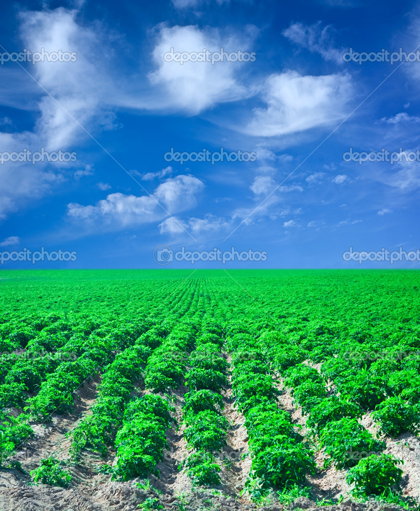Field of potato with blue sky