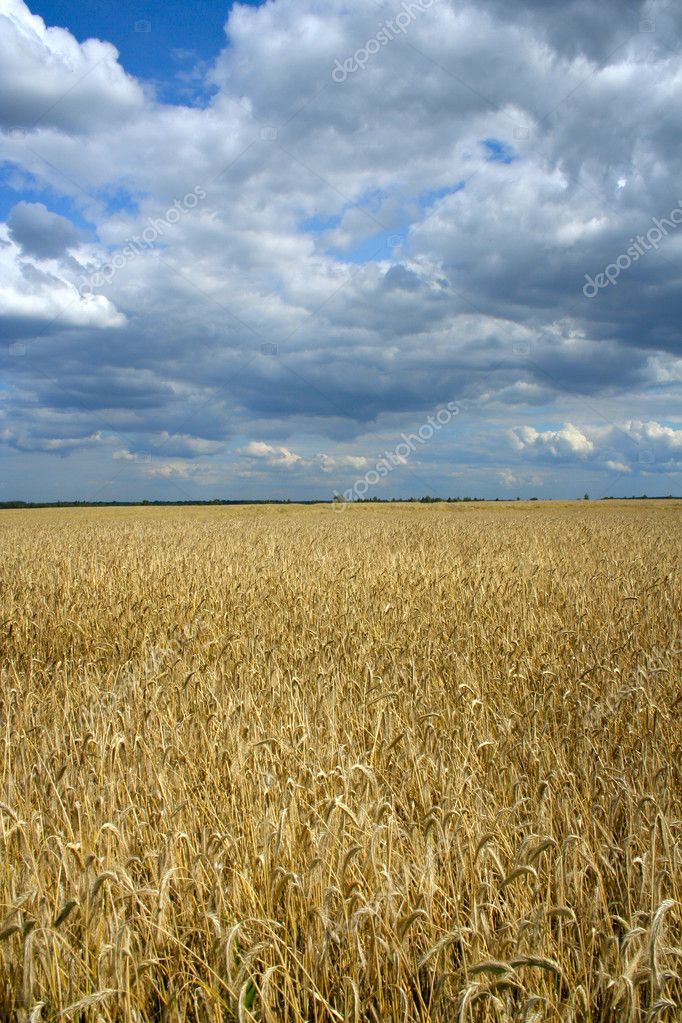 Field of ripe wheat and dramatic sky