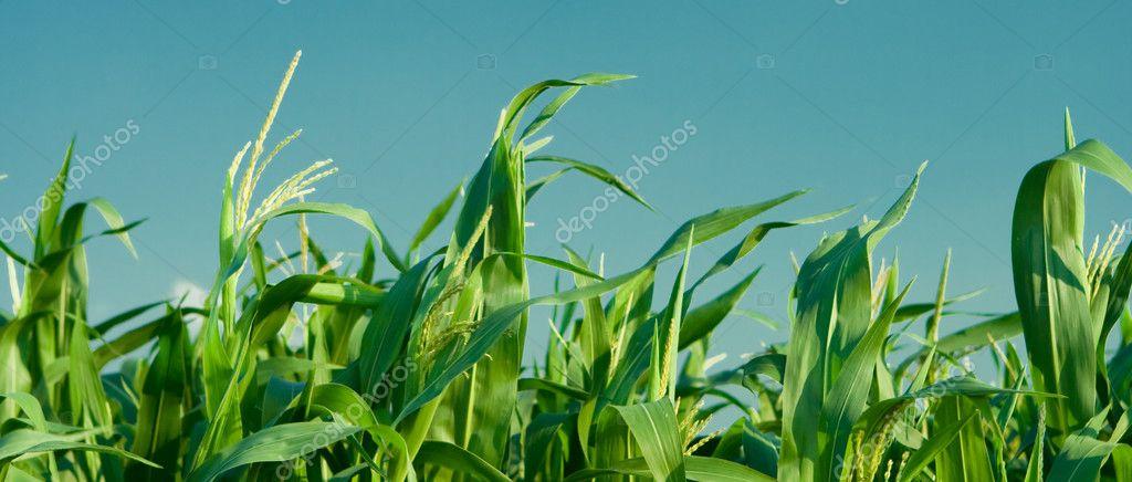 Foliage of corn