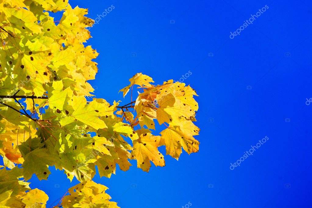 Maple branch on a background of the blue