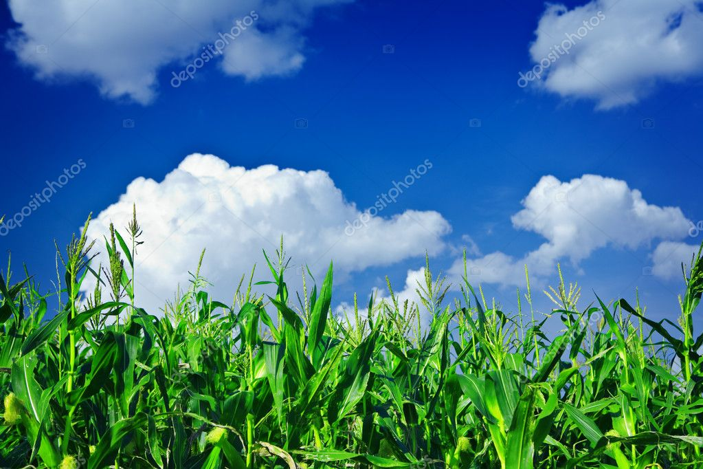 Plants of green corn on the sky