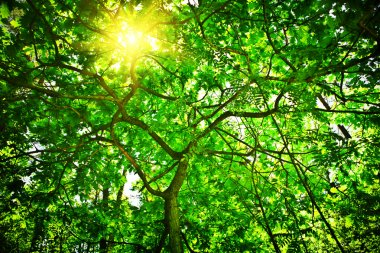Crone of the tree with sun