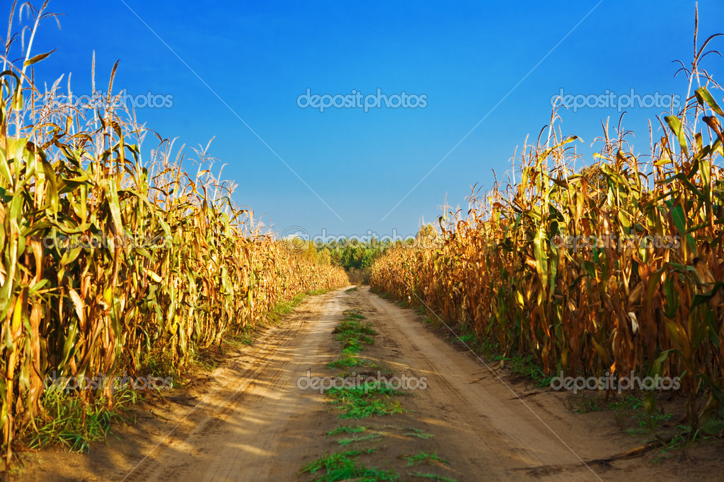 Road on the cornfield
