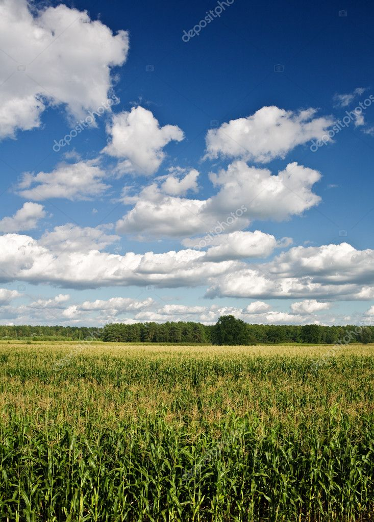 Corn field with a forest and the sky