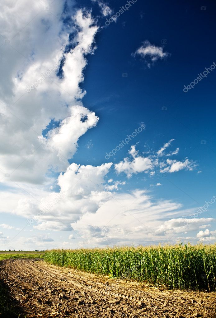 Edge of a corn field