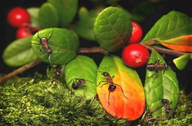 Ants and cowberry