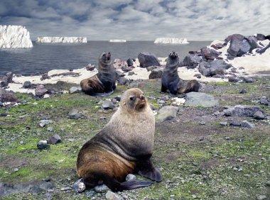 Fur seal - antarctic macho