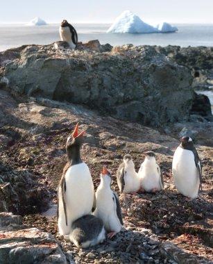 Penguins singing lessions