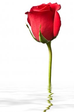 Red rose in water isolated on white back