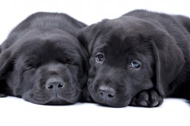 Two puppies black labrador retriever
