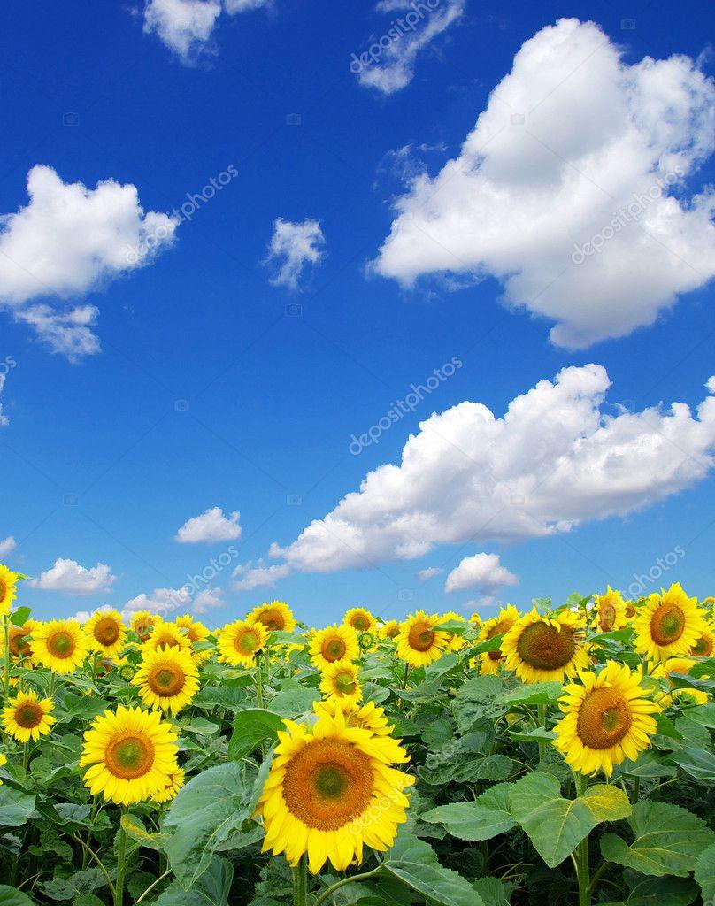 Фотообои Sunflower field