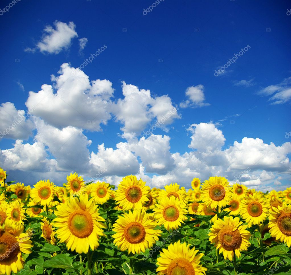 Фотообои Sunflower field