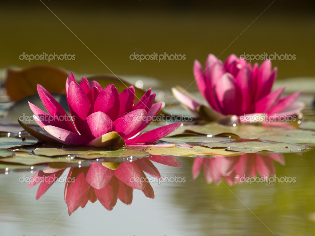 Two Lotus Flowers in Pond with Reflectio