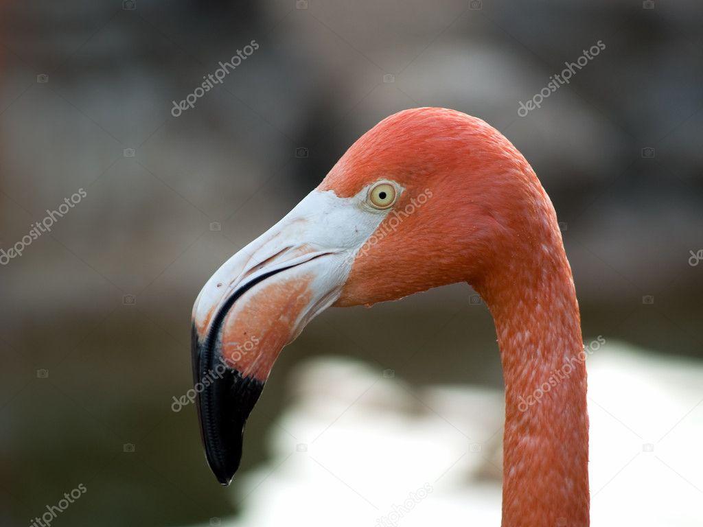 Flamingo Kopf