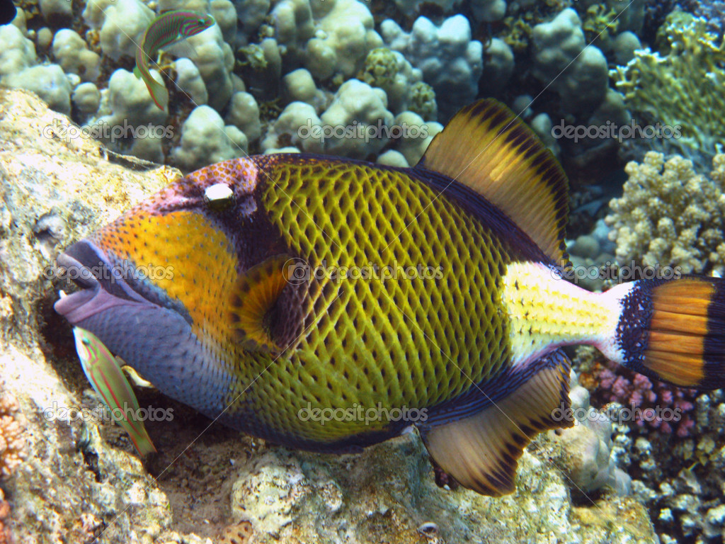 Titan triggerfish stock photo vintrom 1122845 for Fische arten