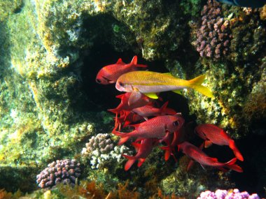 Pinecone soldierfishes