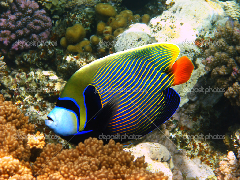 Emperor angelfish in Red sea