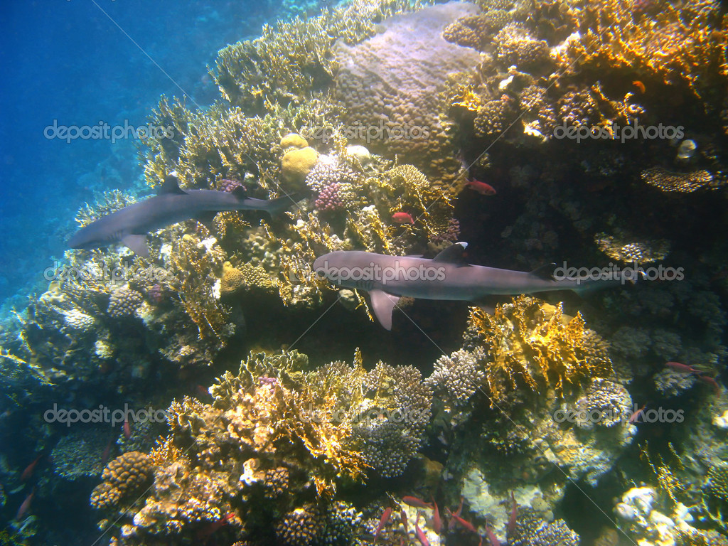 Whitetip reef sharks and coral reef