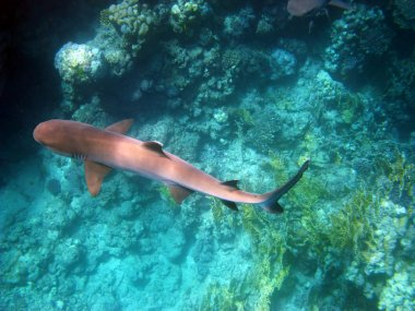 Whitetip shark in Red sea