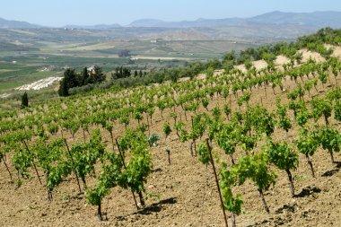 Vineyard in sicily rural area